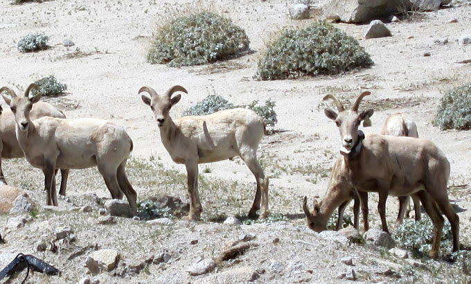 Anza Borrego Bighorn Sheep Closeup