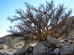 Elephant Tree in Torote Canyon - Anza Borrego