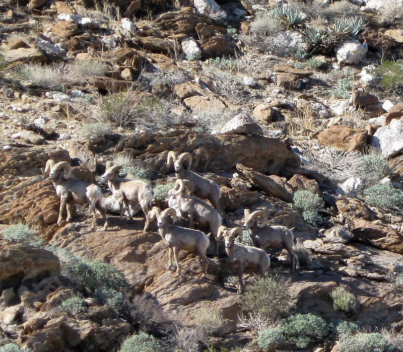 Desert Bighorn Sheep Herd near Indian Hill in Anza Borrego