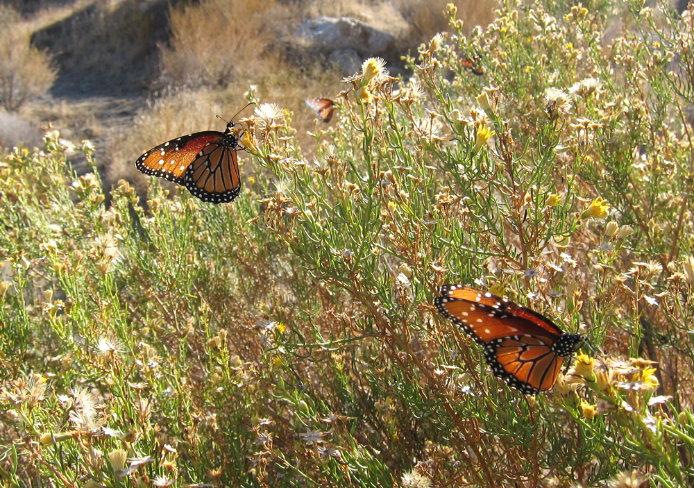 Box Canyon Butterflies