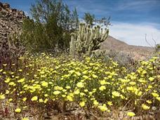 Wildflowers and Pictographs in Southern Anza Borrego.