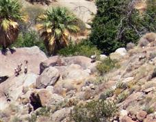 Anza Borrego Bighorn Sheep Count for 2011