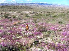 Anza Borrego WildFlower Report