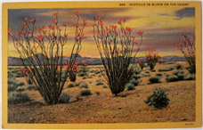 Vintage Ocotillo in Bloom Postcard