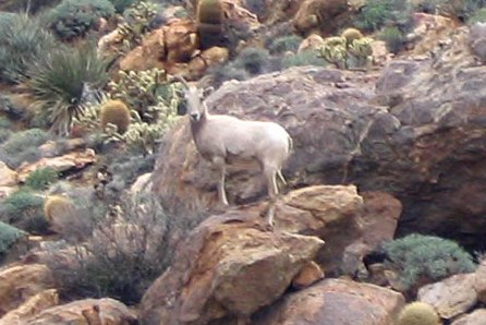 Anza Borrego - BigHorn Sheep Ewe near Goat canyon Trestle